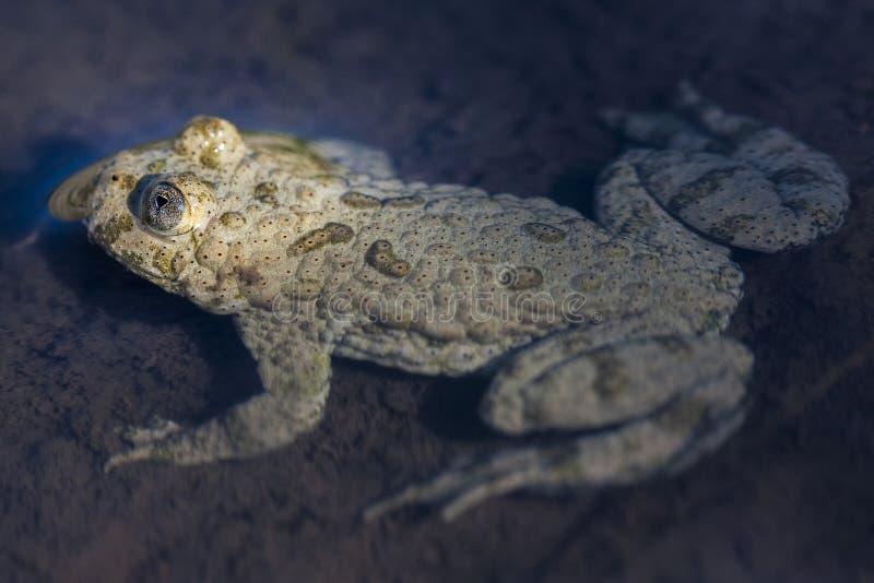 黄腹吸汁啄木鸟的蟾蜍Bombina variegata属于命令无尾目, archaeobatrachial家庭Bombinatoridae,和 图库摄影