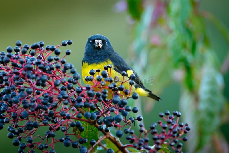 黄腹吸汁啄木鸟的Siskin, Carduelis xanthogastra,吃蓝色果子在自然栖所, Savegre, fe的热带黄色和黑鸟 免版税库存图片