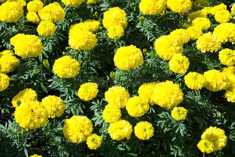 黄色万寿菊开花 万寿菊花在庭院里 免版税图库摄影