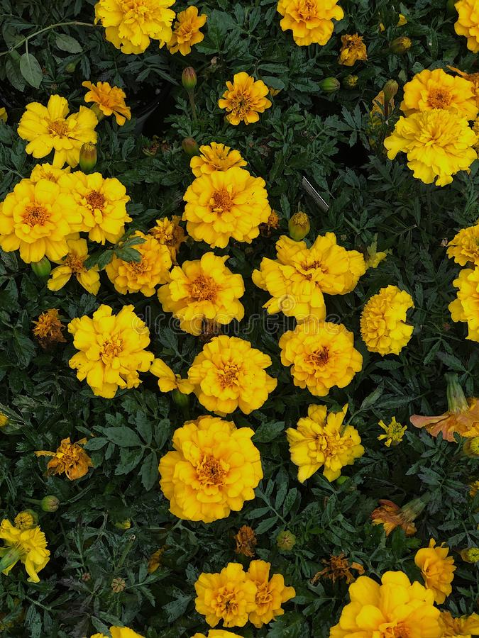 黄色万寿菊 图库摄影