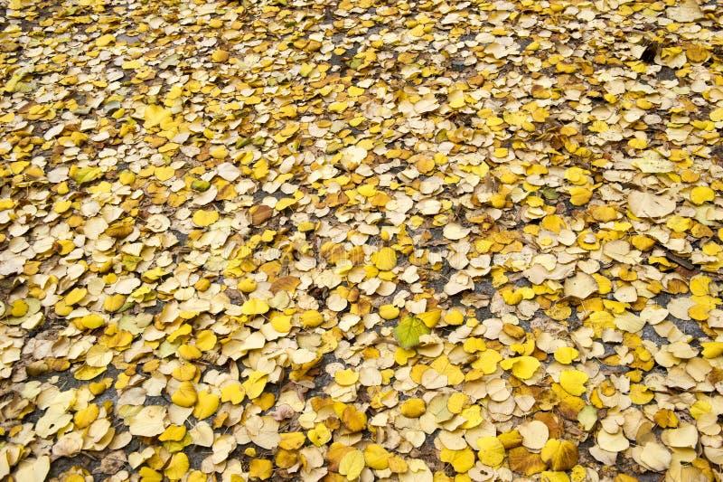 黄色下落的叶子的背景在公园 免版税库存照片