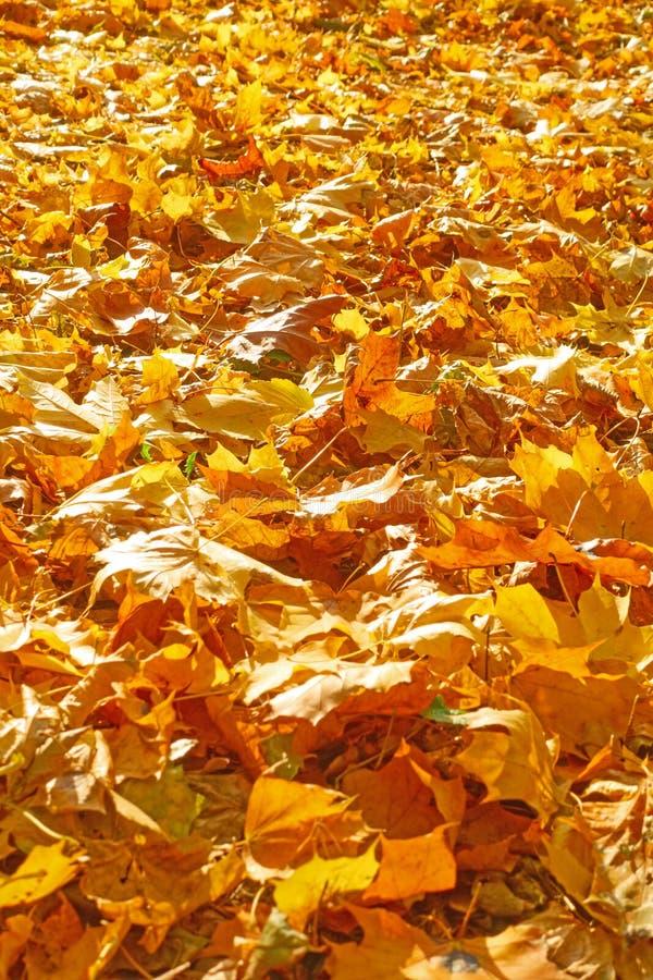 黄色下落的枫叶 免版税库存图片