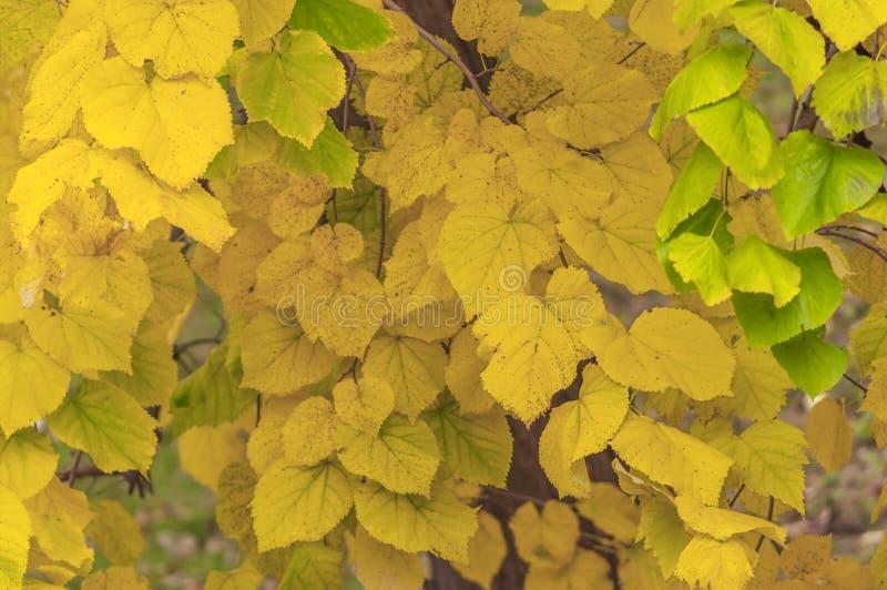 黄色从秋天树形式象墙纸的城市公园离开 库存照片