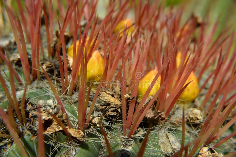 黄色仙人掌花蕾 库存图片