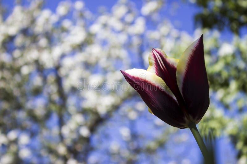黄色伯根地郁金香在庭院里开花反对背景 免版税库存照片