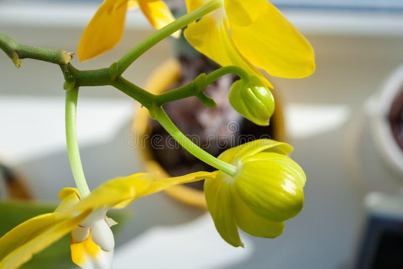 黄色兰花兰花植物身分的美丽的开花的芽在窗台的 r r 图库摄影