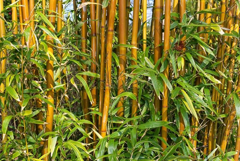 黄色具沟的竹子 免版税库存图片