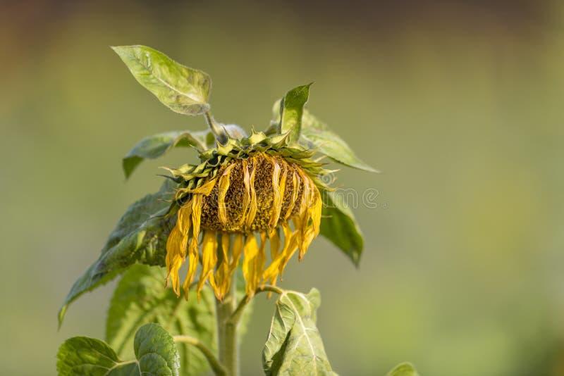 黄色凋枯的向日葵哀伤地离开头状花序垂悬 免版税库存图片
