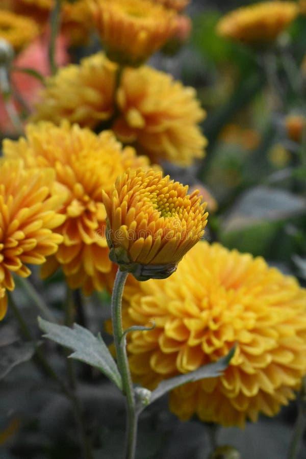 黄色发芽的花 库存照片