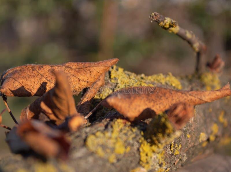 黄色叶子的关闭在木青苔细节 免版税库存照片