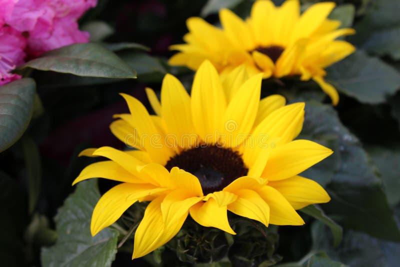 黄色向日葵在庭院里 免版税库存照片