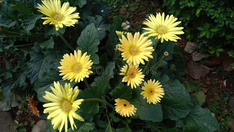黄色向日葵在庭院里 免版税库存图片