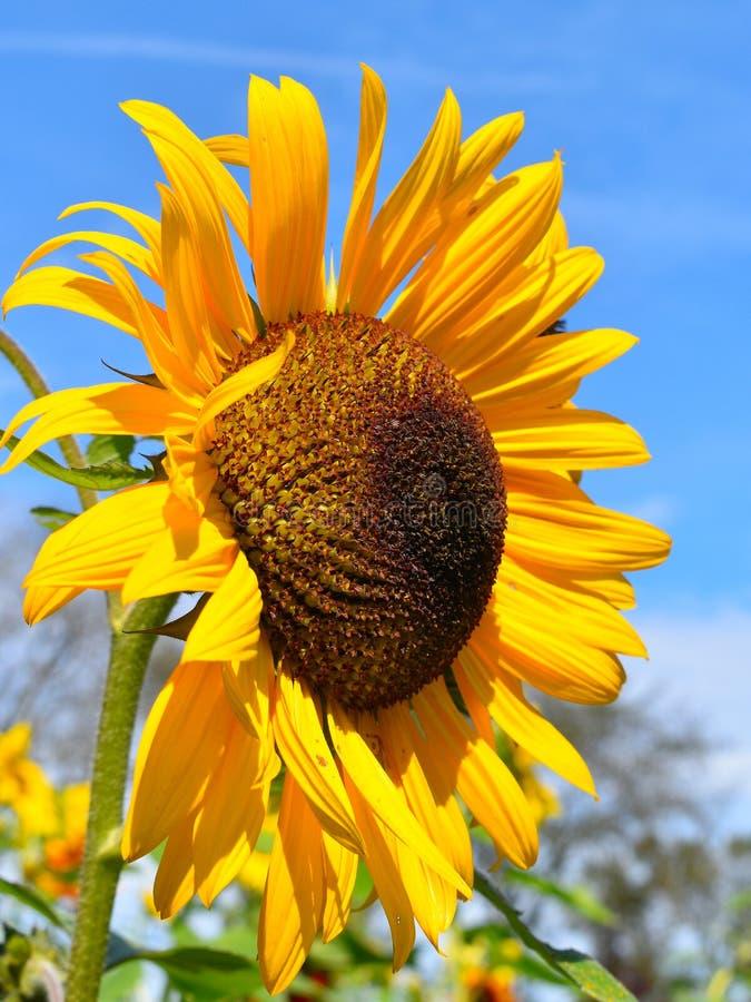 黄色向日葵在秋天天在Littleton,马萨诸塞,密德萨克斯郡,美国 新英格兰秋天 免版税库存照片
