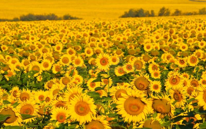 黄色向日葵的域。 免版税库存图片