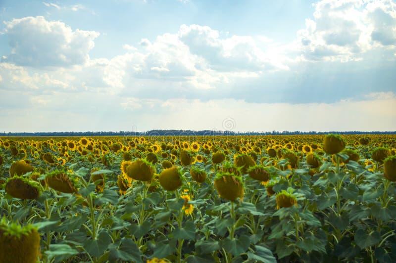 黄色向日葵的美好的领域反对天空蔚蓝的 库存照片