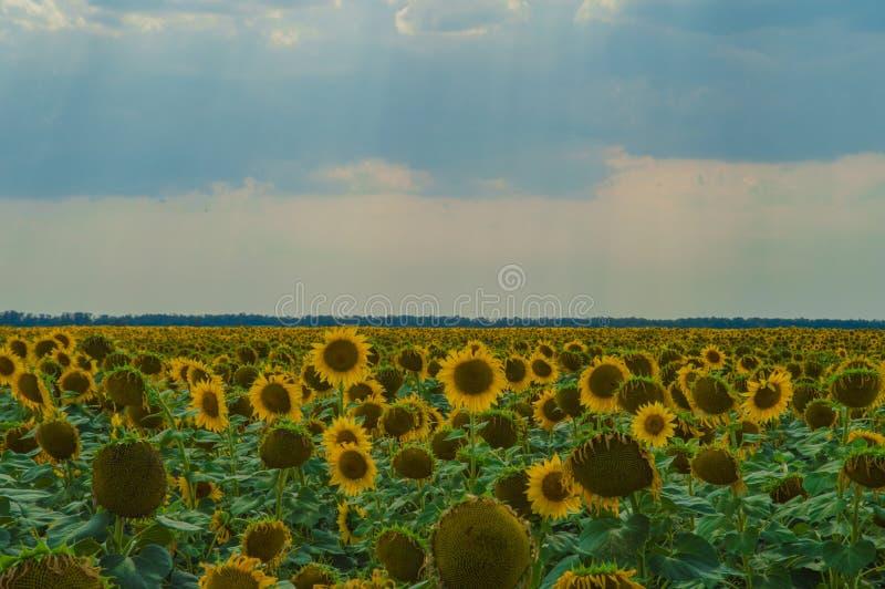 黄色向日葵的美好的领域反对天空蔚蓝的 免版税库存图片