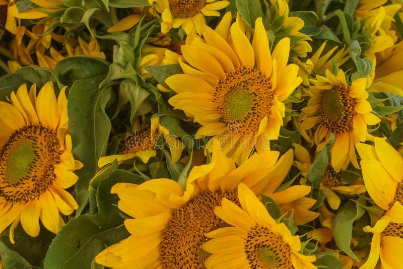黄色向日葵,黄色美丽的花束  免版税库存照片