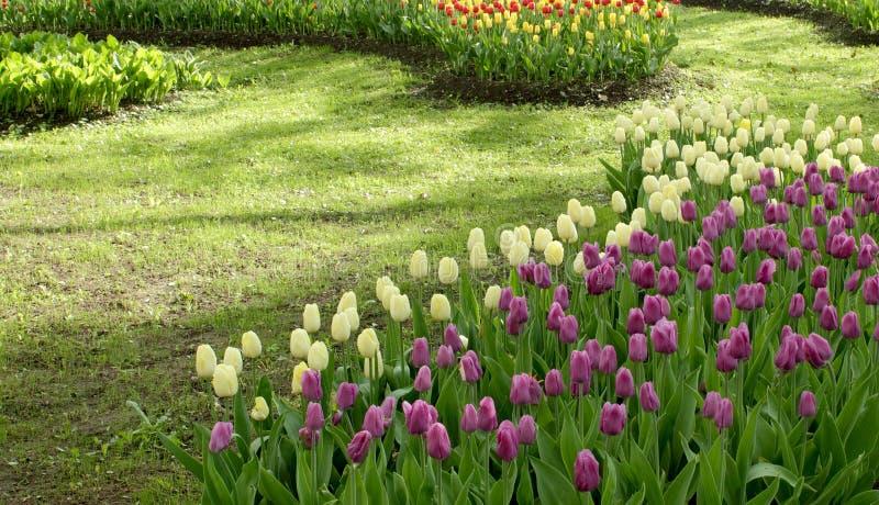 黄色和桃红色郁金香花圃 库存图片