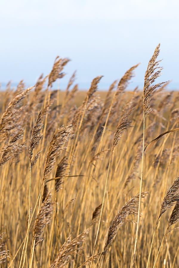 黄色和棕色草叶在风的 免版税库存图片