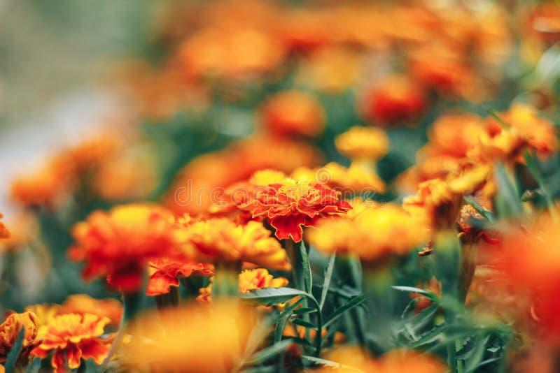 黄色和橙色万寿菊在秋天的庭院里开花 图库摄影