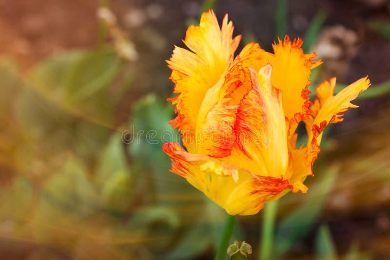 黄色和橙色被装饰的郁金香在庭院里 免版税库存照片