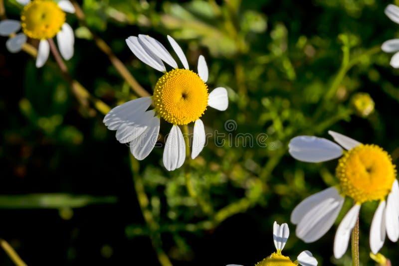 黄色和白色懒惰雏菊野花 图库摄影