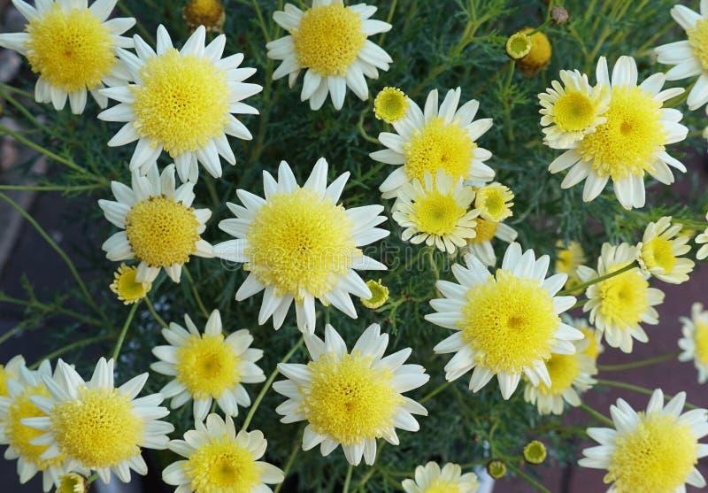 黄色和白色海角延命菊花 免版税库存图片