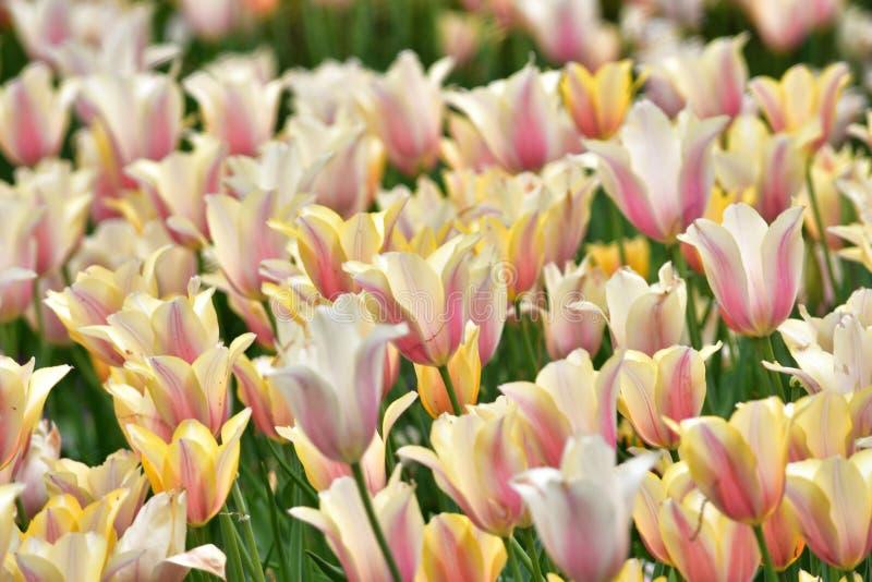 黄色和白色郁金香 库存图片