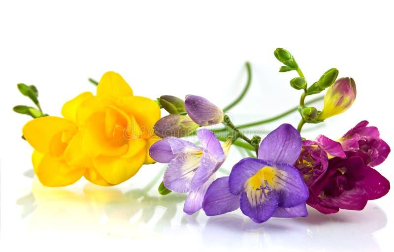 黄色和紫罗兰色fresia 库存照片