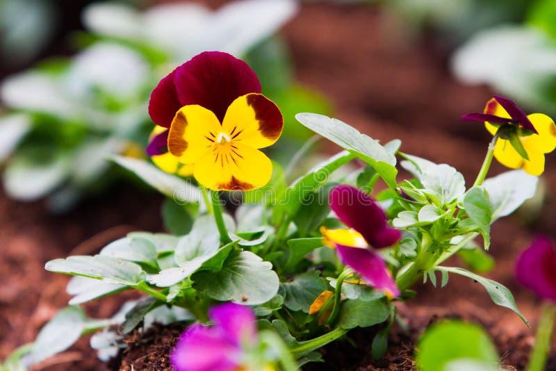 黄色和紫色蝴蝶花在庭院里 免版税库存照片