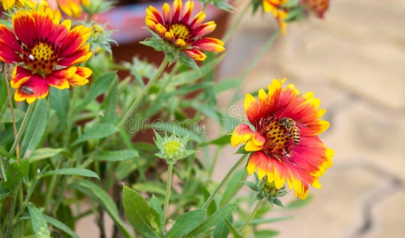 黄色和红色充满活力的天人菊属植物花和蜂蜜蜂 库存图片