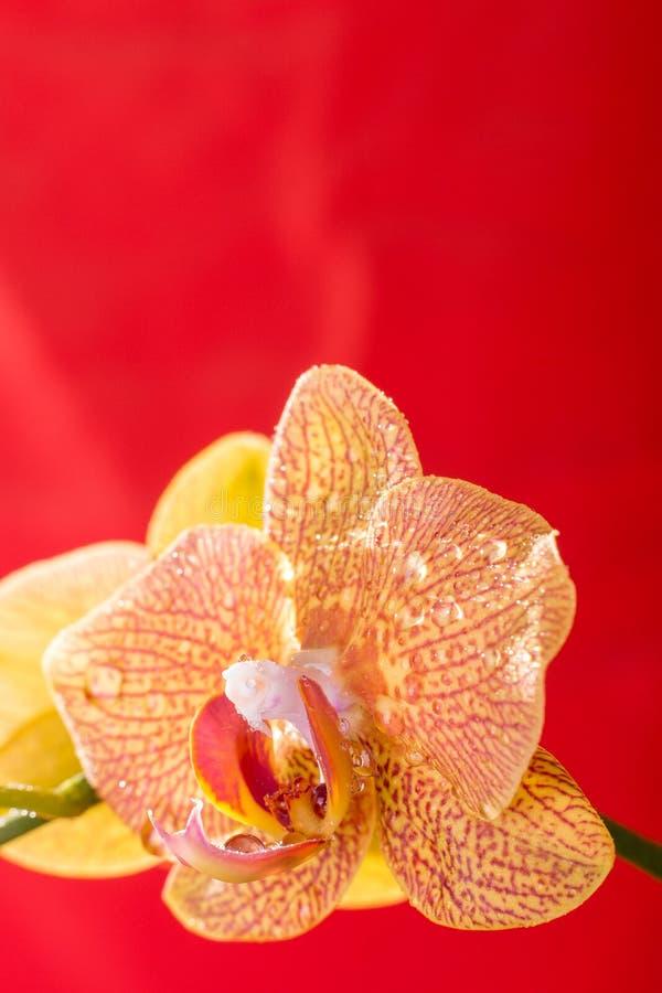 黄色和红色兰花宏指令用水下降 兰花植物 库存图片