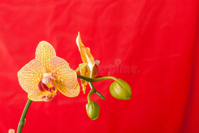 黄色和红色兰花宏指令用水下降 兰花植物 免版税库存照片