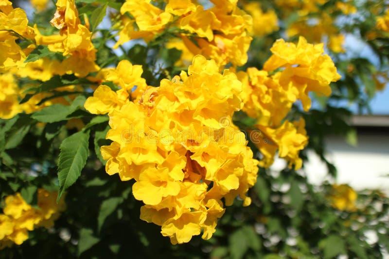 黄色喇叭花, Trumpetbush ( Tecoma stans)开花在 库存照片