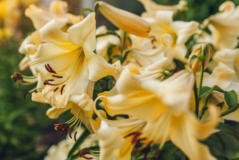 黄色喇叭aurelian百合 生长在夏天庭院里的鲜花花束  r 免版税库存照片
