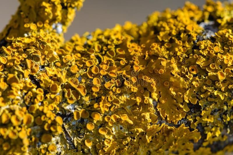 黄色地衣在桦树分支增长 库存照片