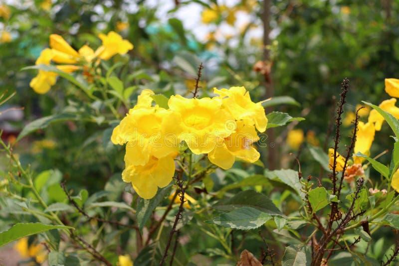黄色夹竹桃或Cascabela黄夹竹桃属在树 库存图片