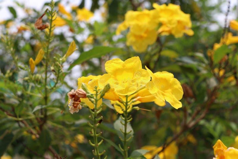 黄色夹竹桃或Cascabela黄夹竹桃属在树 免版税库存照片