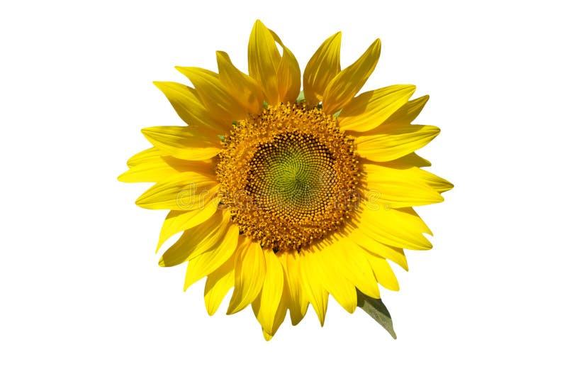 黄色孤立向日葵 免版税库存照片