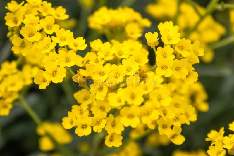 黄色小花特写镜头在一个室外庭院里增长 r 库存照片