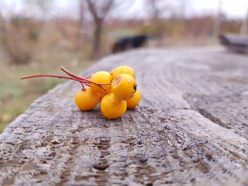 黄色山楂树国家边 库存照片