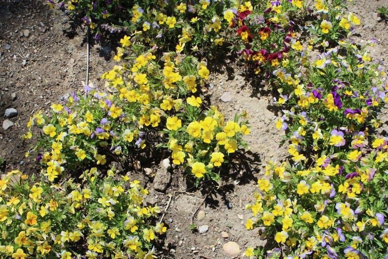 黄色山saxifrage 图库摄影