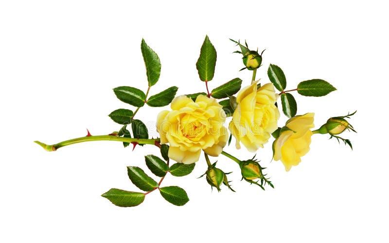 黄色庭院玫瑰色花、芽和叶子 免版税图库摄影