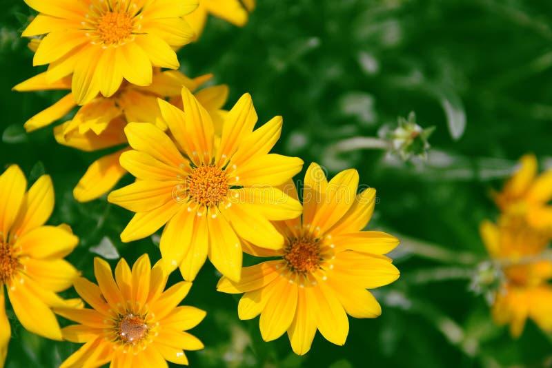 黄色延命菊和dysies反对绿色自然本底 空的拷贝空间 库存照片