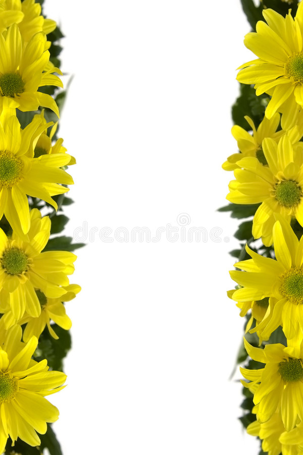 黄色延命菊 免版税库存照片