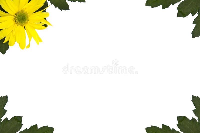 黄色延命菊 库存照片