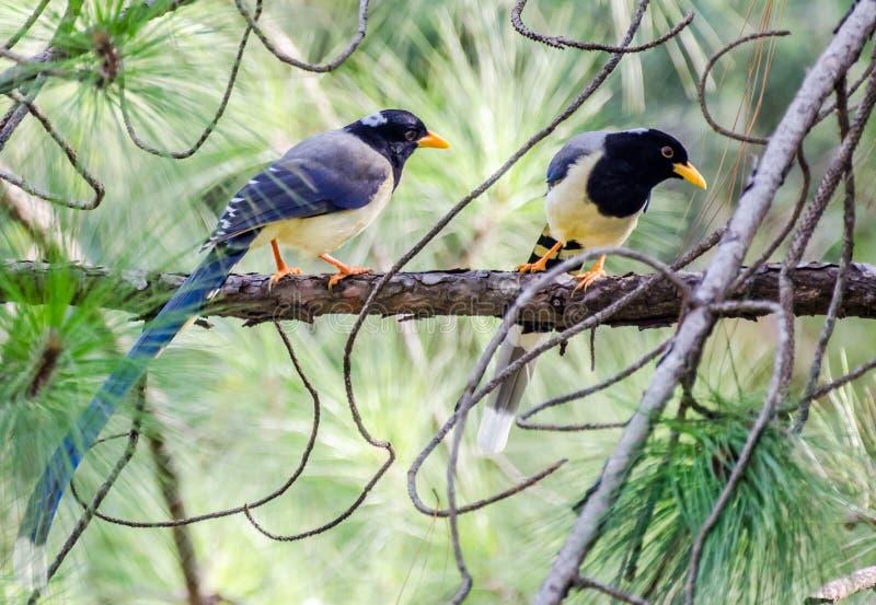 黄色开帐单的蓝色鹊或金开帐单的鹊 免版税图库摄影