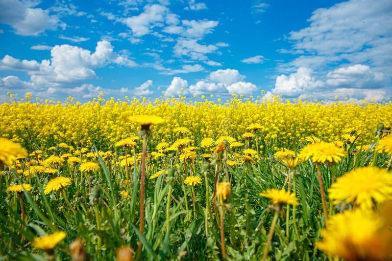黄色开花的强奸和天空蔚蓝的领域 免版税库存图片