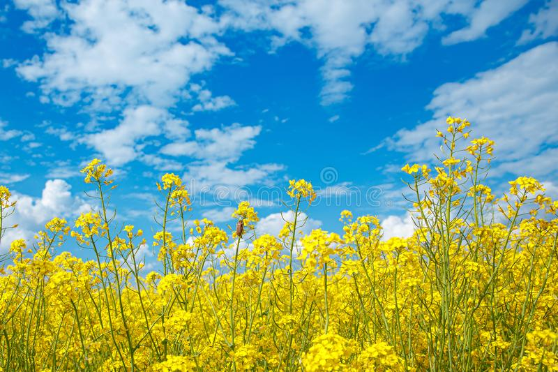 黄色开花的强奸和天空蔚蓝的领域 库存照片