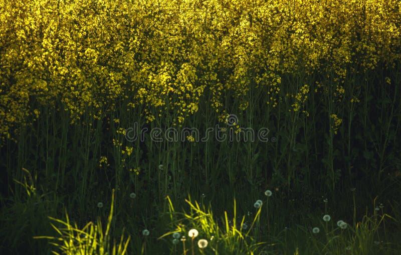 黄色开花的油菜籽植物的领域有最近被耕的棕色领域的在背景中 免版税库存照片